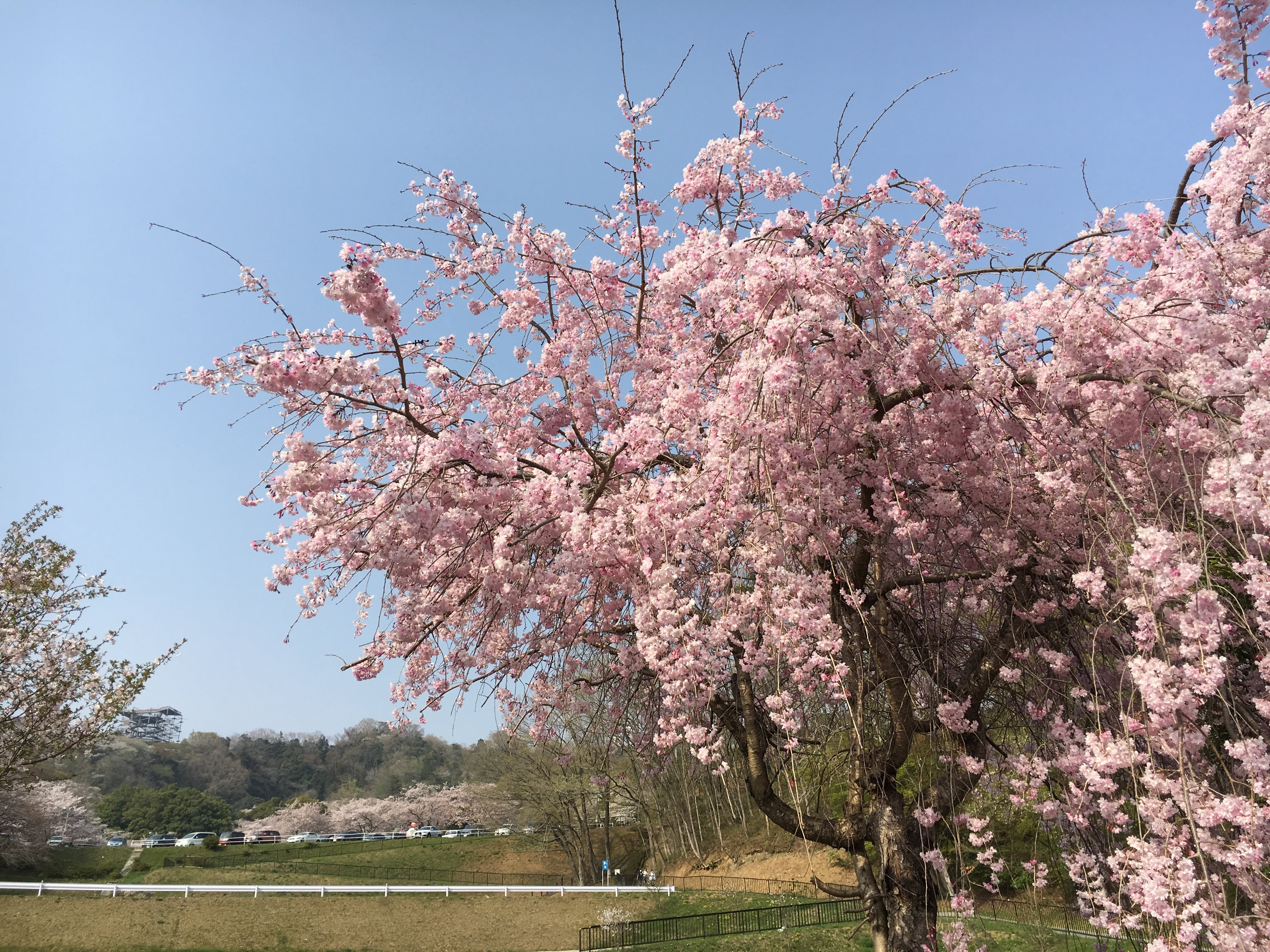 相模湖プレジャーフォレストの桜